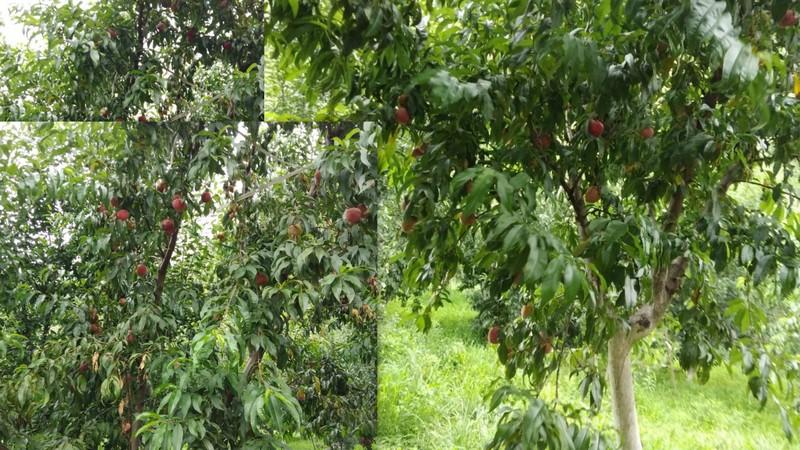 Prunus persica (Peaches)